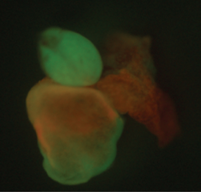Heart of a transgenic zebrafish showing mosaic recombination