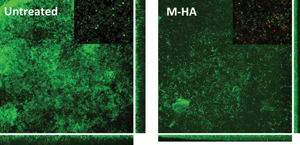Disassembling the existing P. aeruginosa biofilm by adding methylhydroxylamine (M-HA).