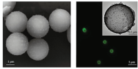 Microrobots mobility and ionic strenght: theory and experiments reveal their relationship
